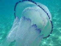Медузи в Чорному морі